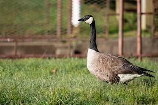 Canada Goose, ML242759531