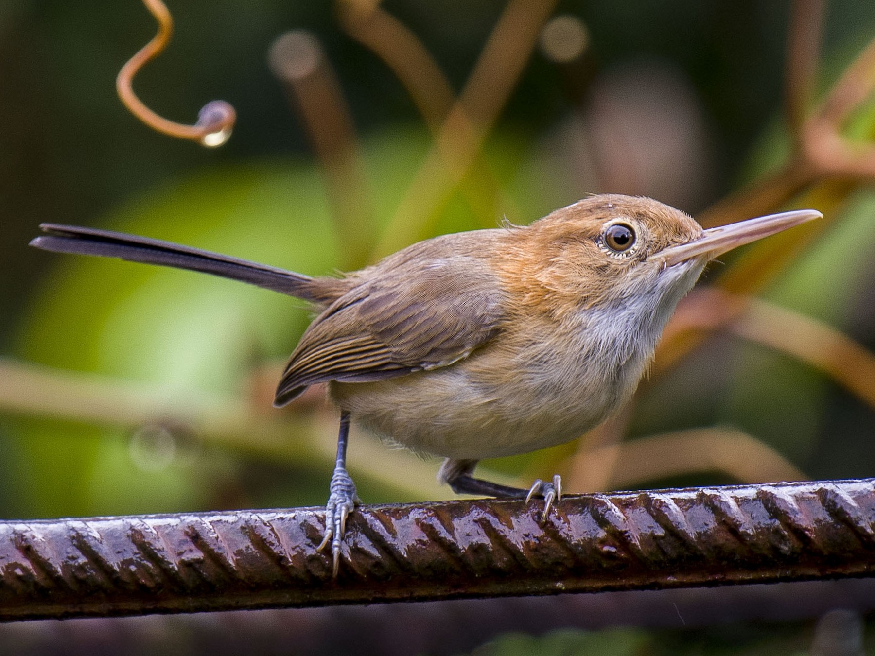 Long-billed/Chattering Gnatwren - Cyril Coomansingh