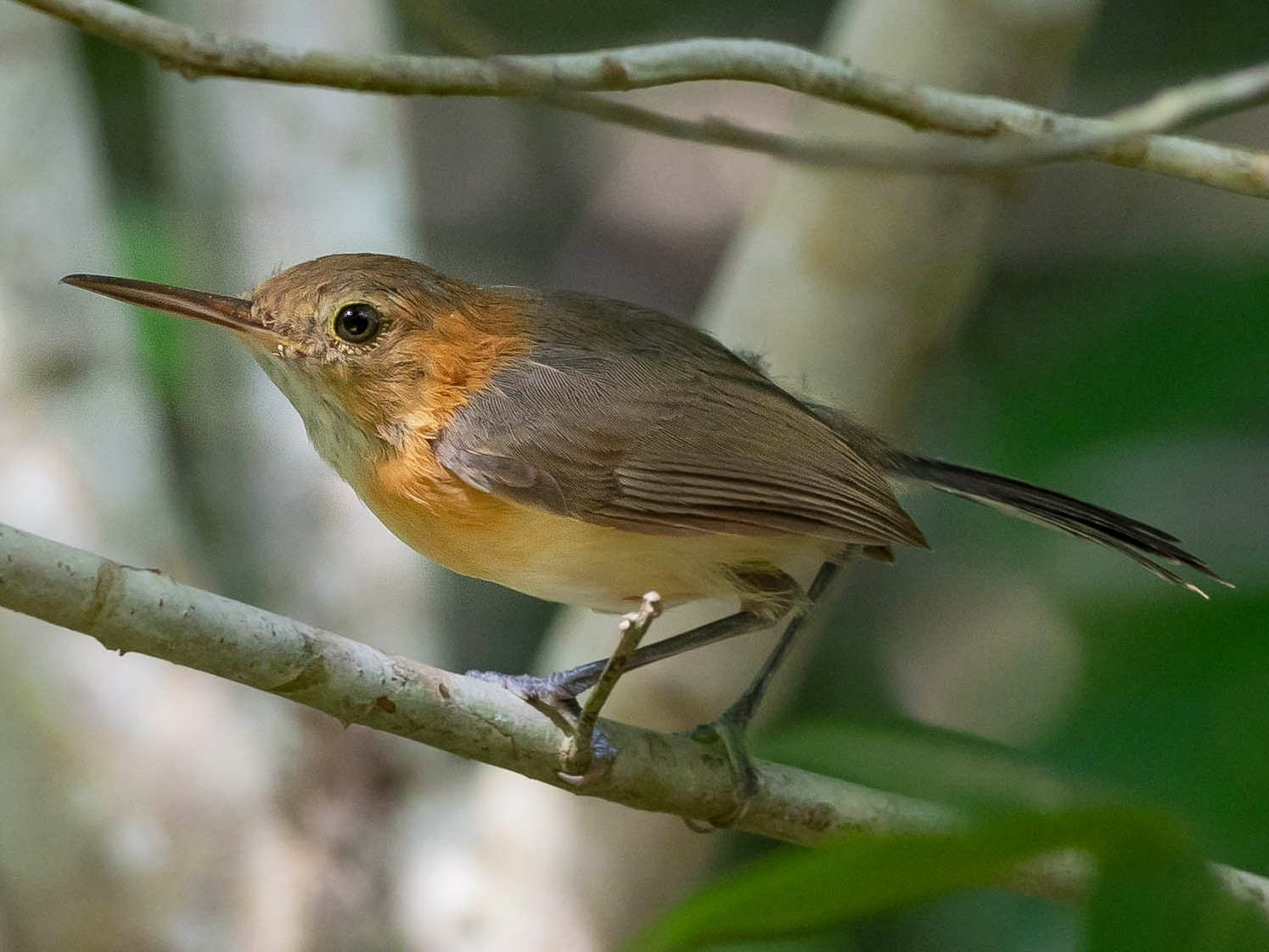 Long-billed/Chattering Gnatwren - Phil Chaon