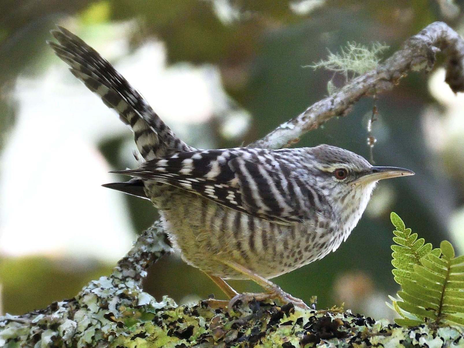 Gray-barred Wren - Miguel Aguilar @birdnomad