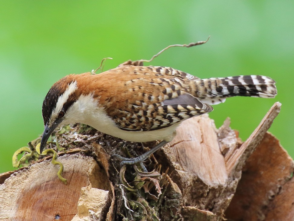 Rufous-naped Wren - Doug Beach
