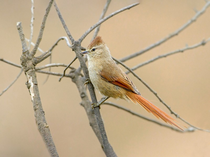 Brown-capped Tit-Spinetail - Dubi Shapiro