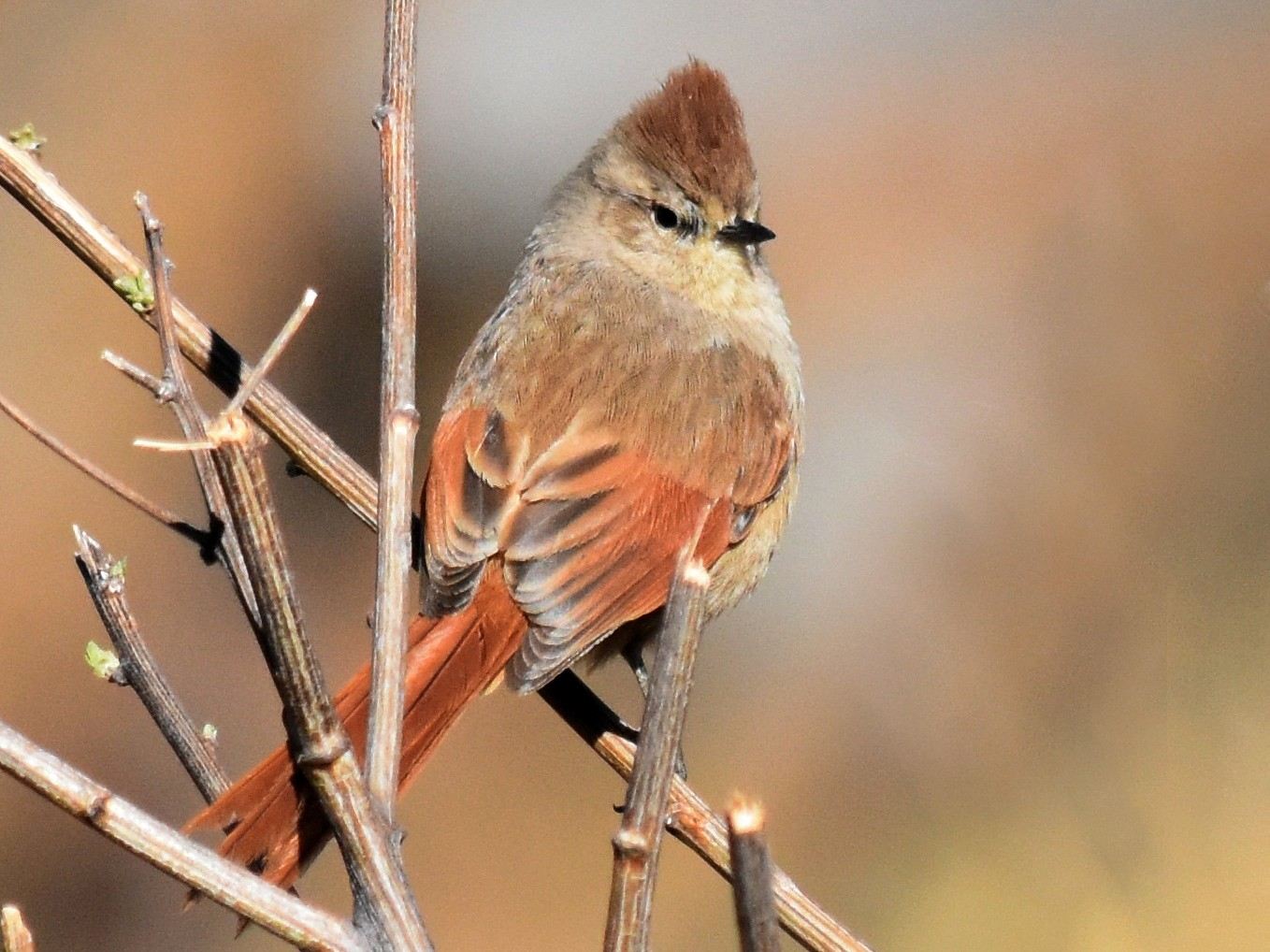 Brown-capped Tit-Spinetail - andres  ebel