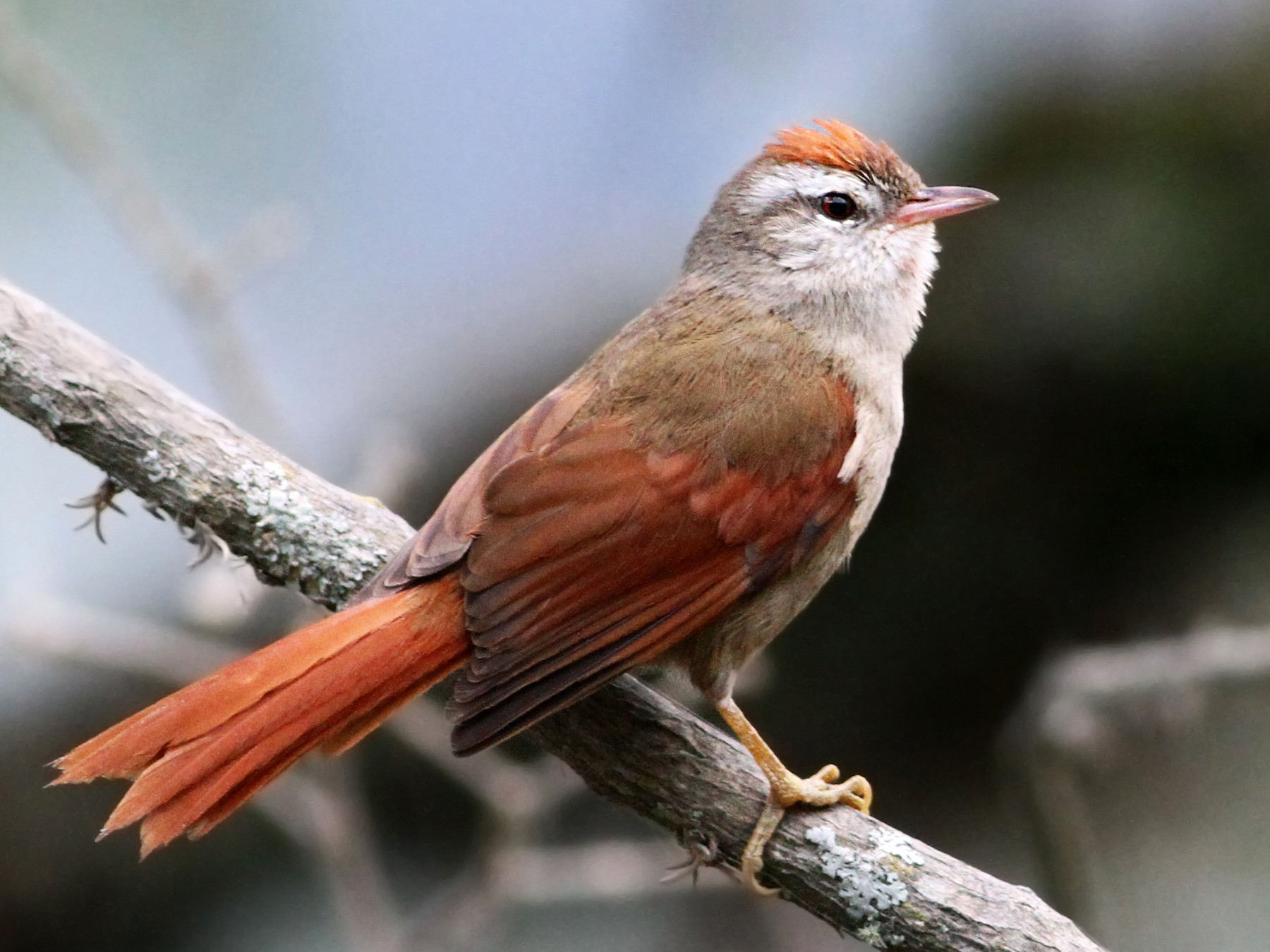 Bolivian Spinetail - Andrew Spencer