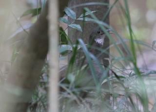 White-throated Tinamou, ML242949841