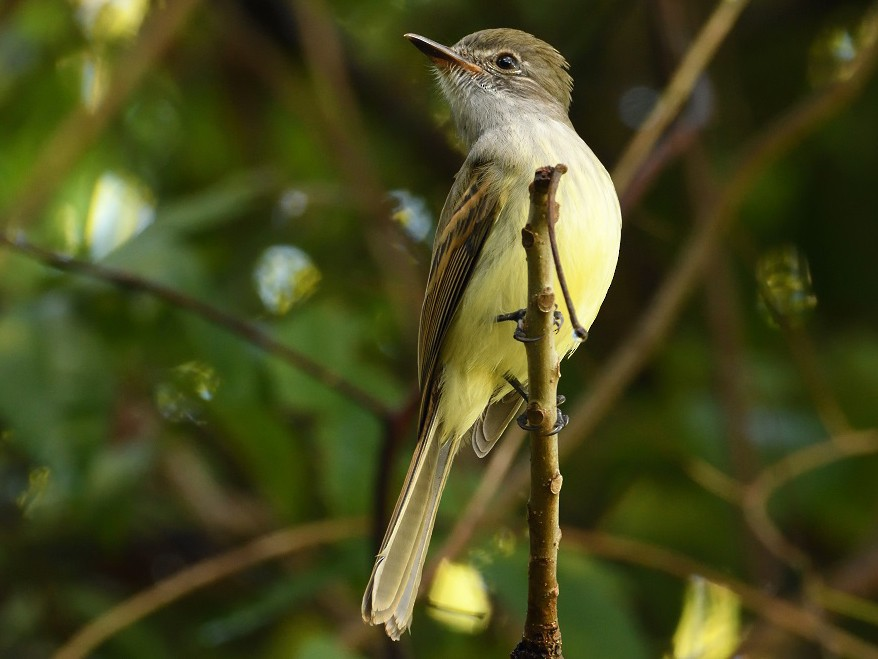 Flammulated Flycatcher - Antonio Robles