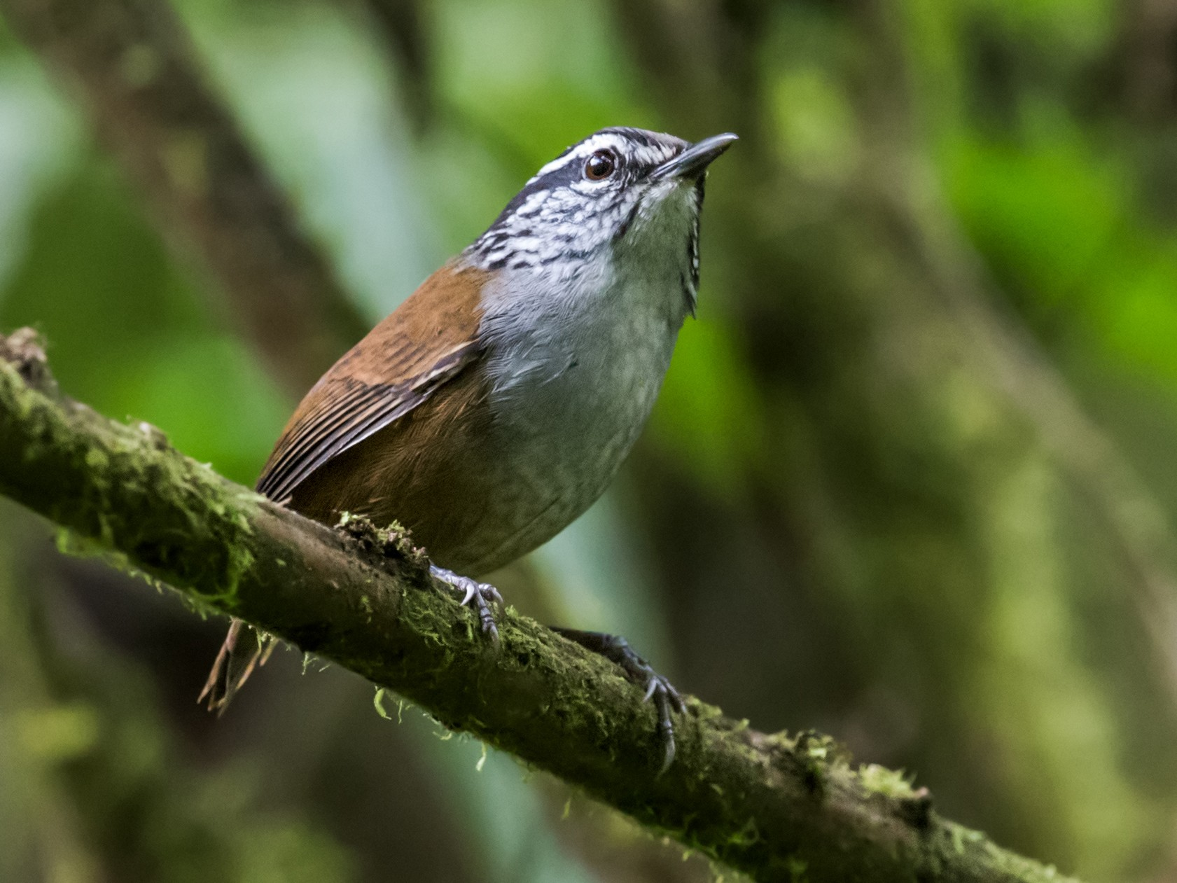 Gray-breasted Wood-Wren - Nick Athanas