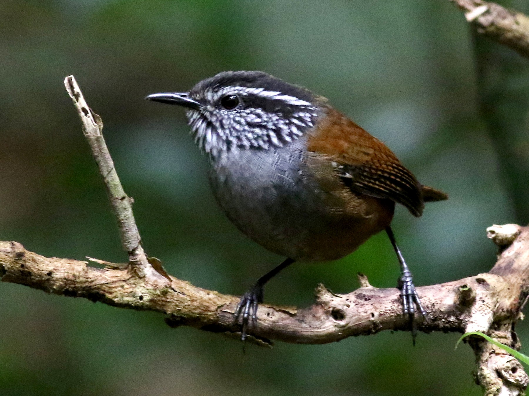 Gray-breasted Wood-Wren - Jay McGowan