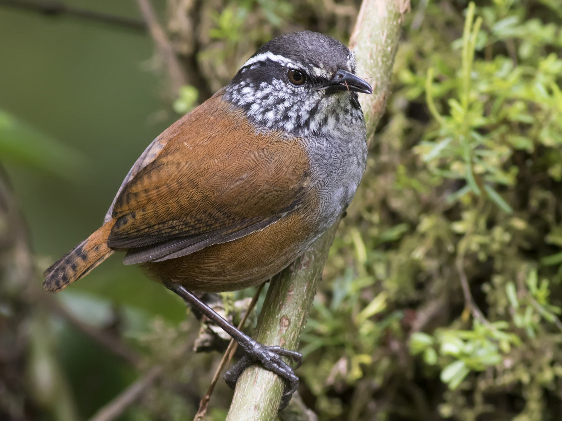 Gray-breasted Wood-Wren - Guillermo  Saborío Vega