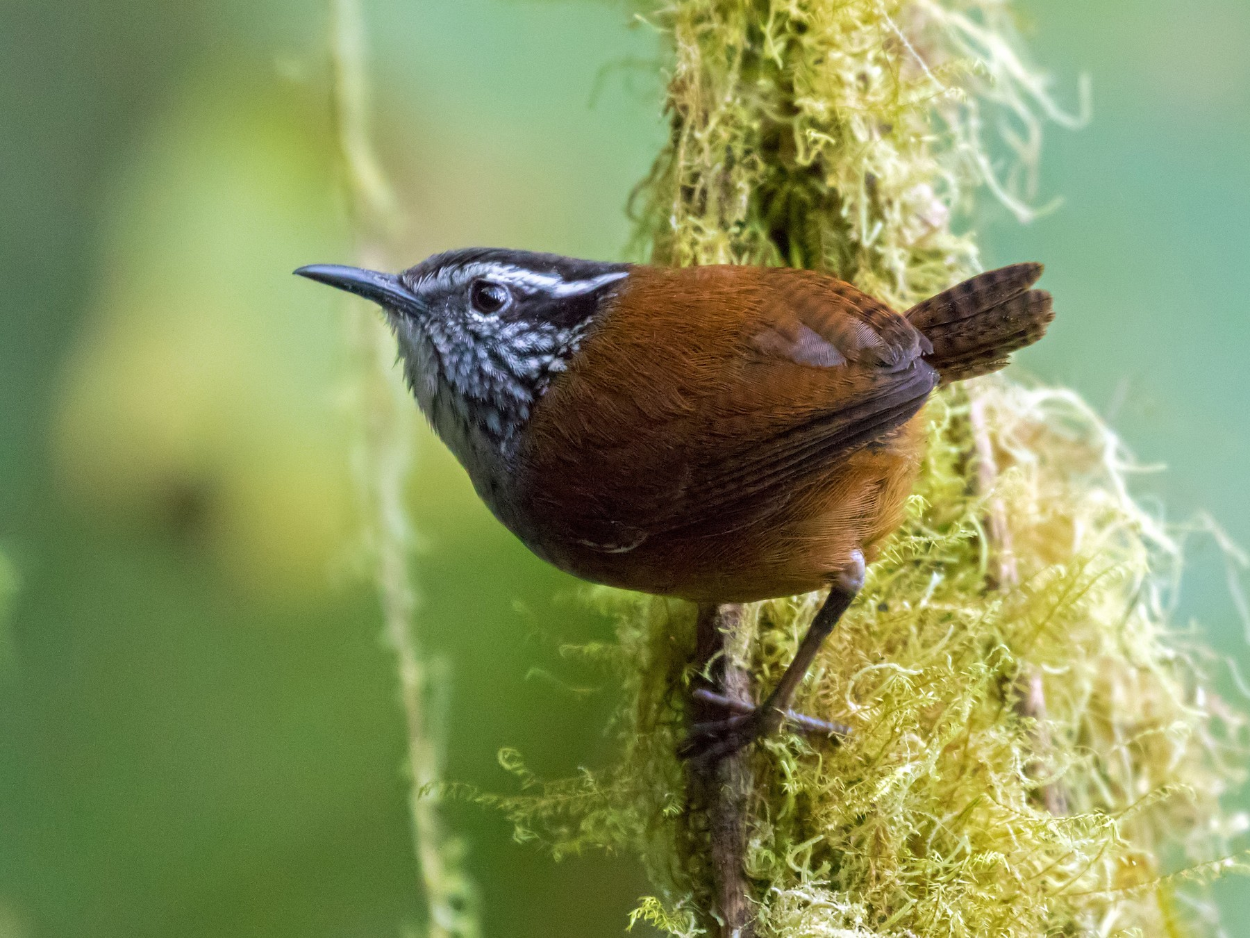 Gray-breasted Wood-Wren - Vayun Tiwari
