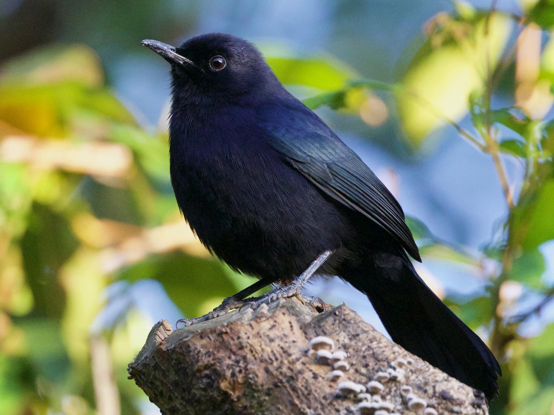 Black Catbird - Cory Gregory