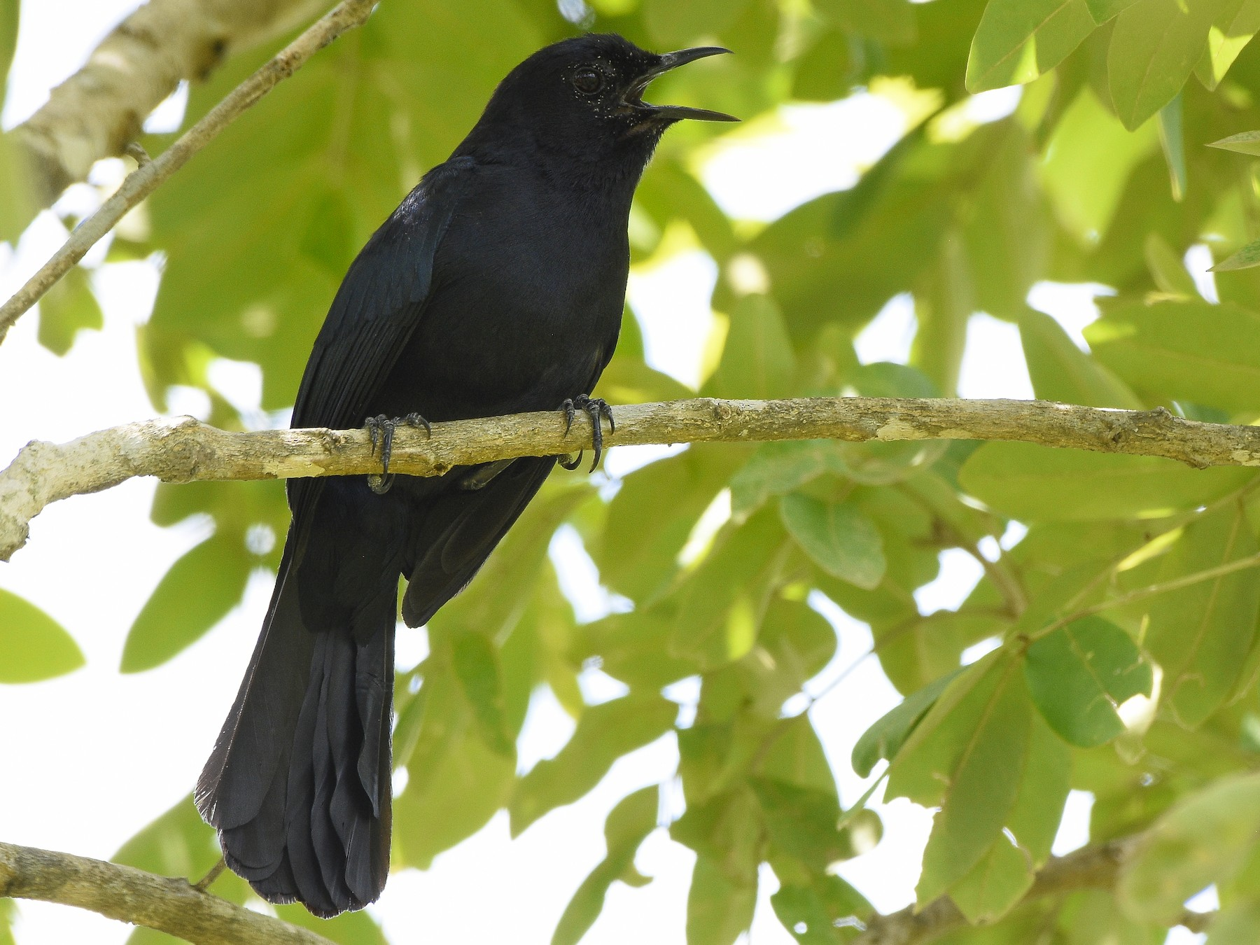 Black Catbird - Carlos Echeverría
