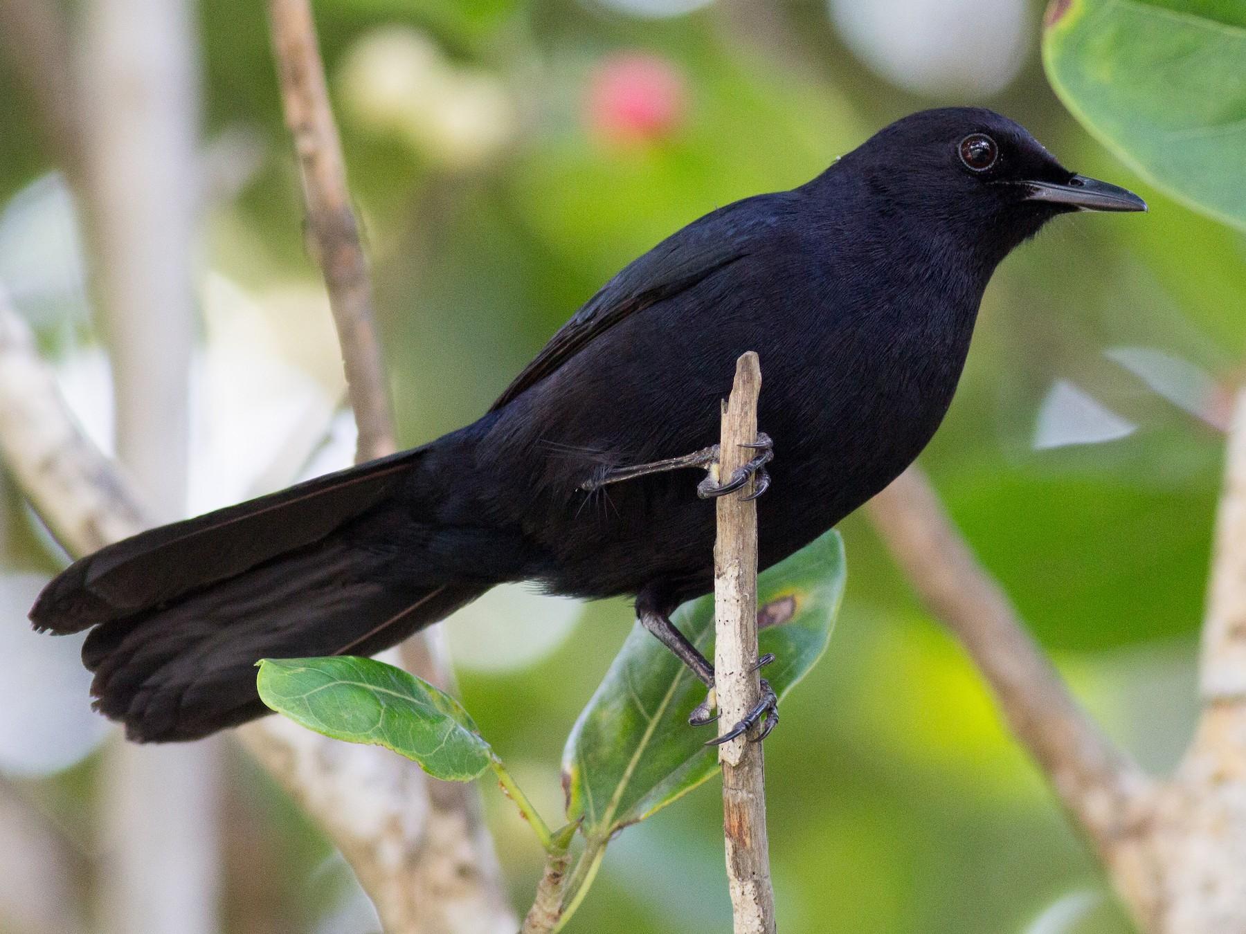 Black Catbird - Francis Canto Jr