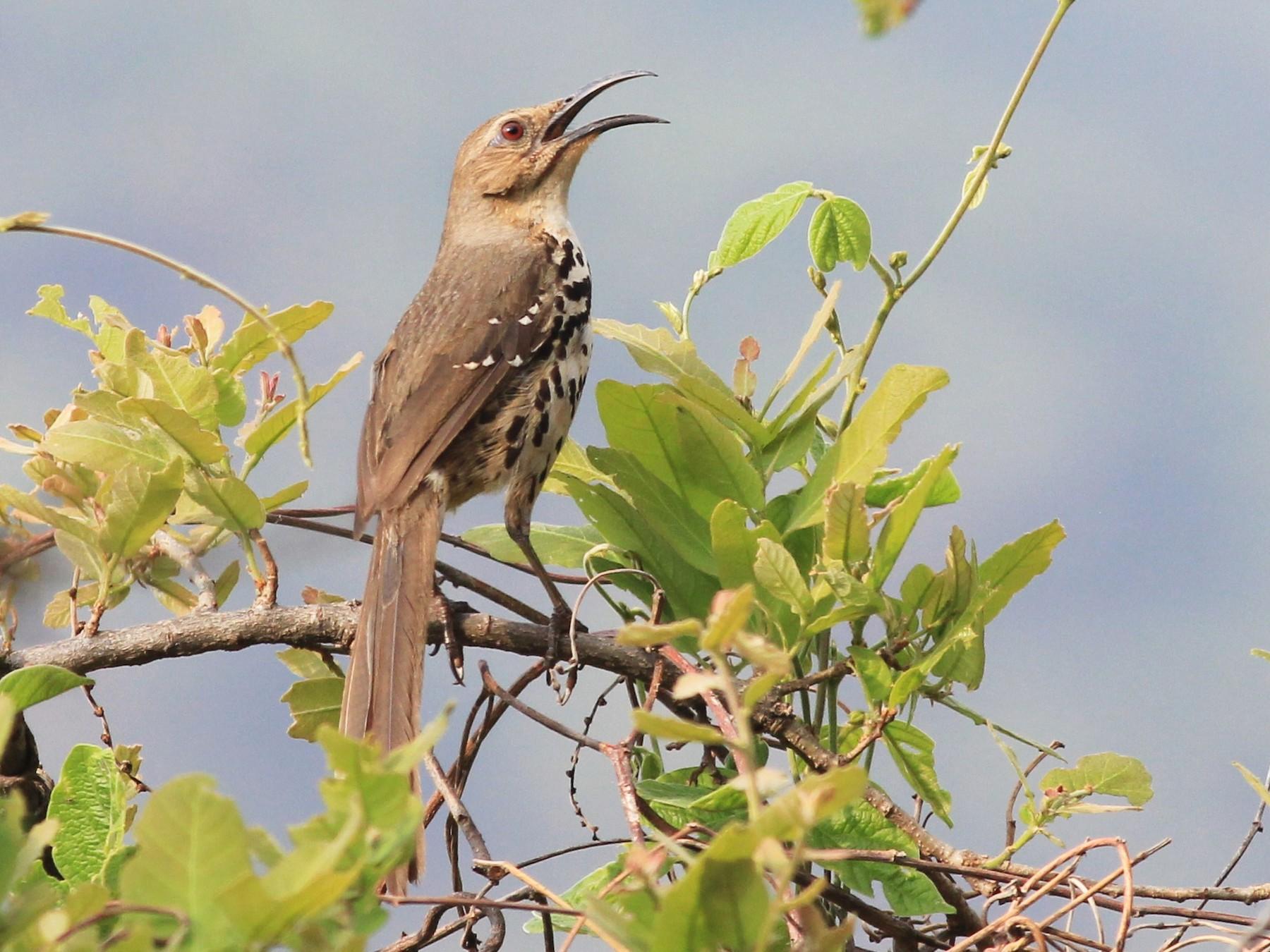 Ocellated Thrasher - Eric Antonio Martinez (Mexico-Birding Tours)