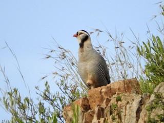 Arabian Partridge, ML243004971