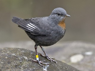 - Rufous-throated Dipper