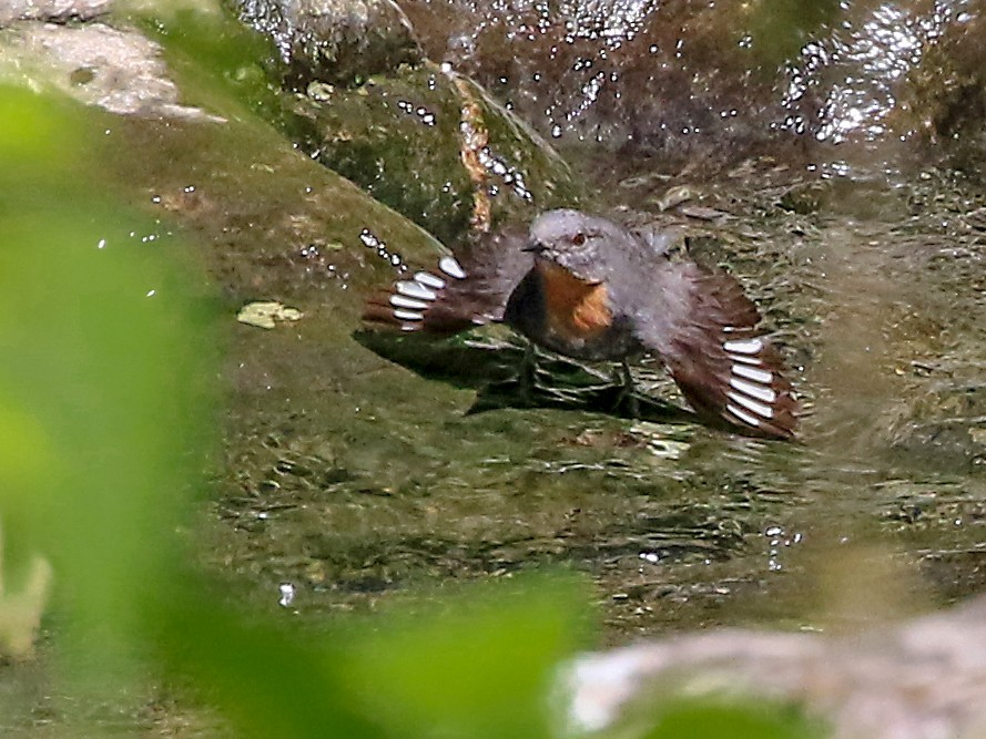 Rufous-throated Dipper - Phillip Edwards