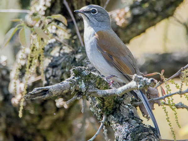 Brown-backed Solitaire - Juan Miguel Artigas Azas