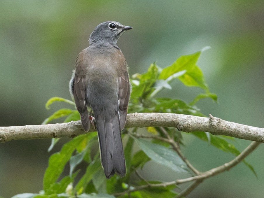 Brown-backed Solitaire - Ian Davies