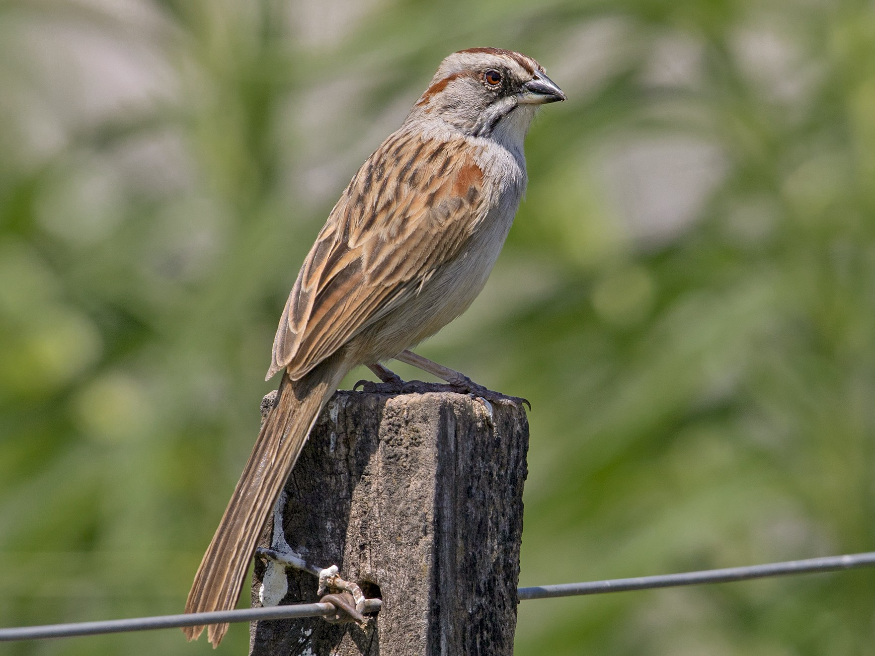 Yungas/Chaco Sparrow - Sam Woods