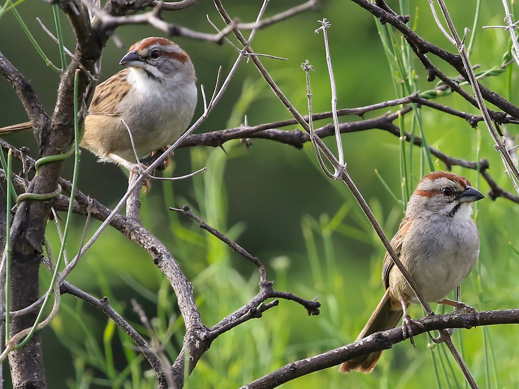 Yungas/Chaco Sparrow - Phillip Edwards