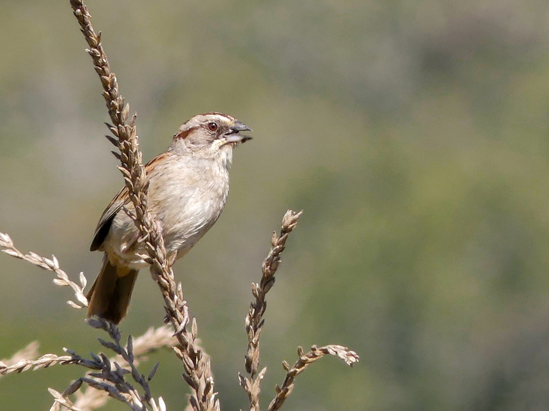 Yungas/Chaco Sparrow - Jorge  Quiroga