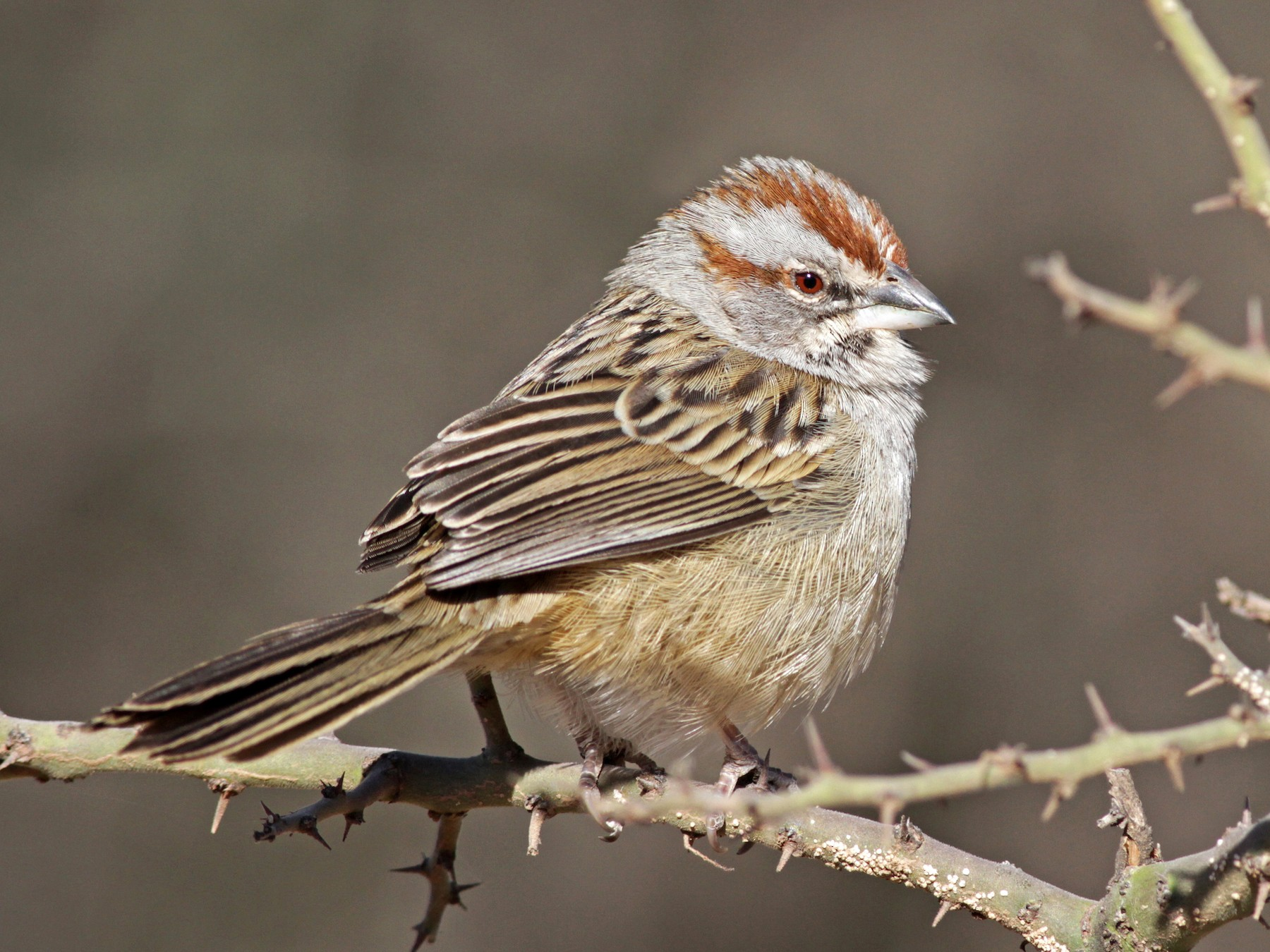 Yungas/Chaco Sparrow - Ian Davies