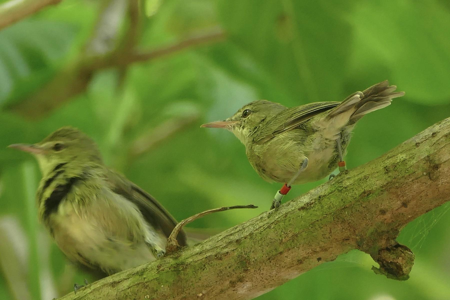 Seychelles Warbler - Peter Kaestner