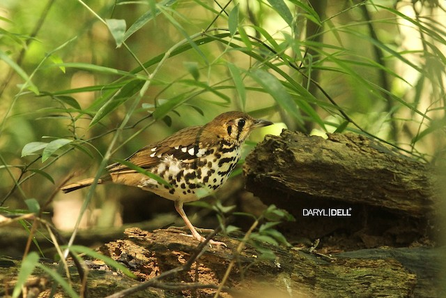 Spotted Ground-Thrush (Spotted)