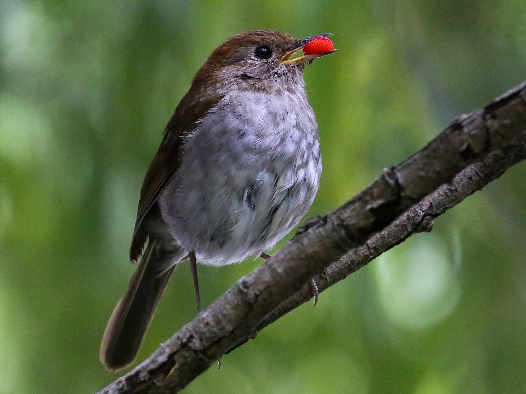 Russet Nightingale-Thrush - Gerardo Marrón