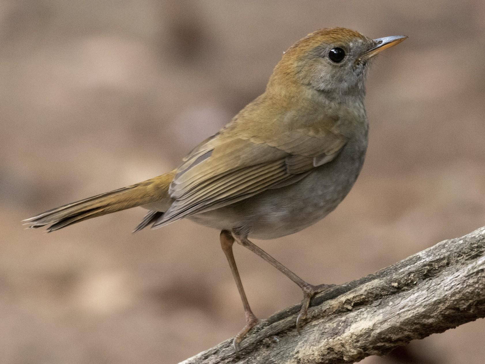 Ruddy-capped Nightingale-Thrush - Marcelo Corella