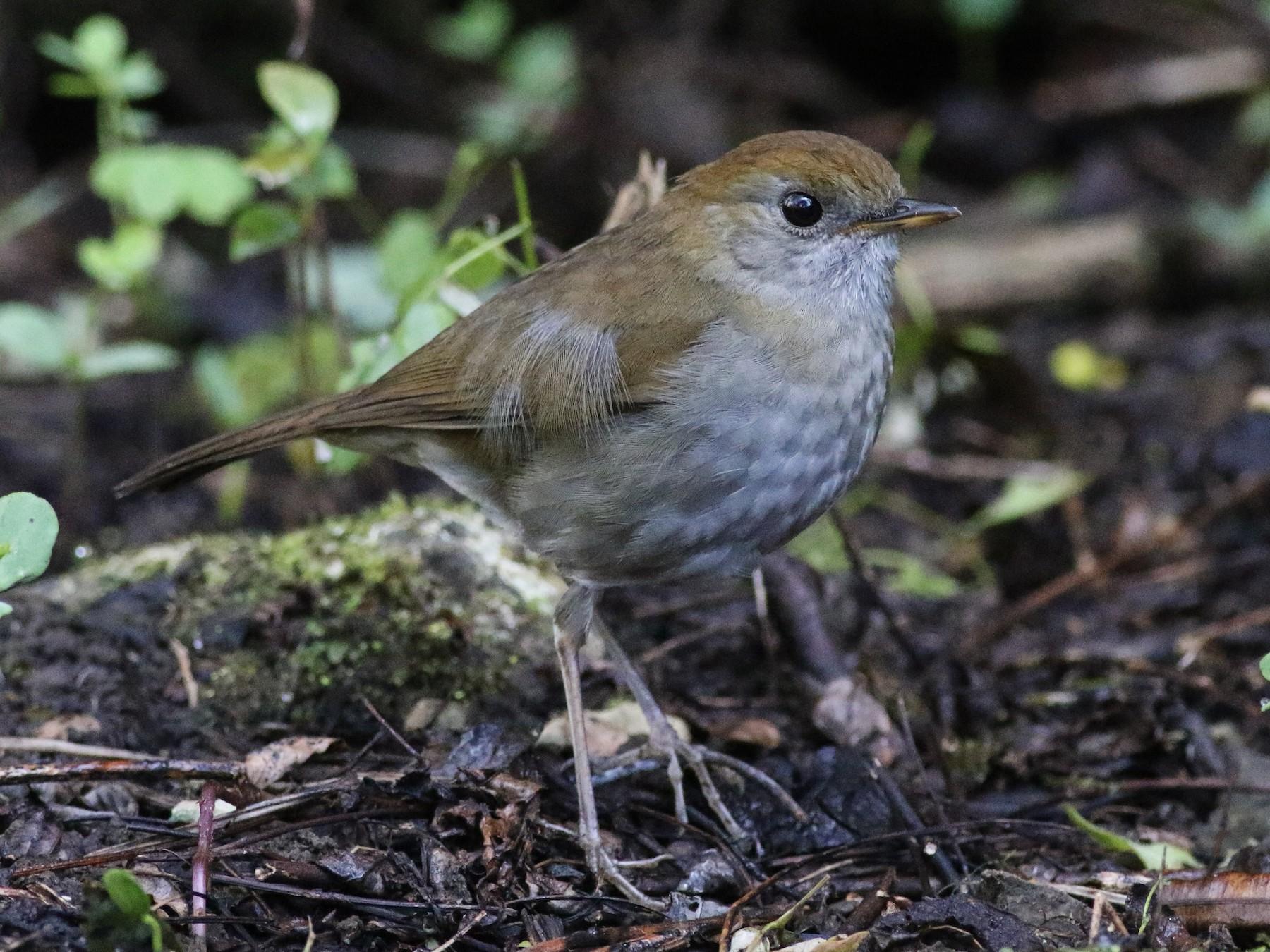 Ruddy-capped Nightingale-Thrush - Tucker Beamer