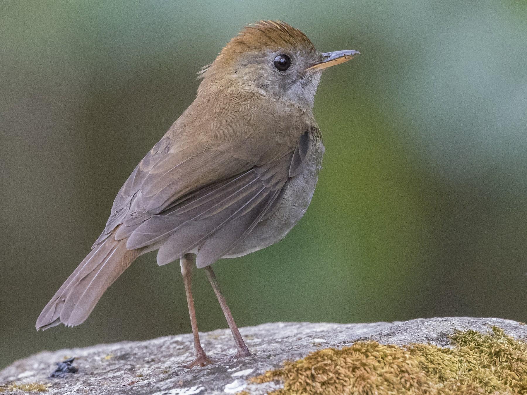 Ruddy-capped Nightingale-Thrush - Caleb Putnam