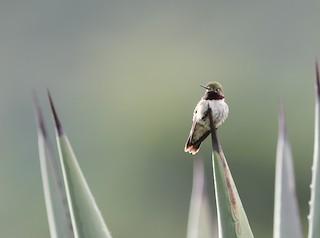 Broad-tailed Hummingbird, ML243351021