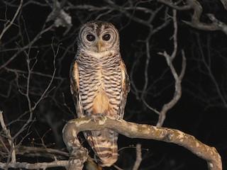 - Chaco Owl