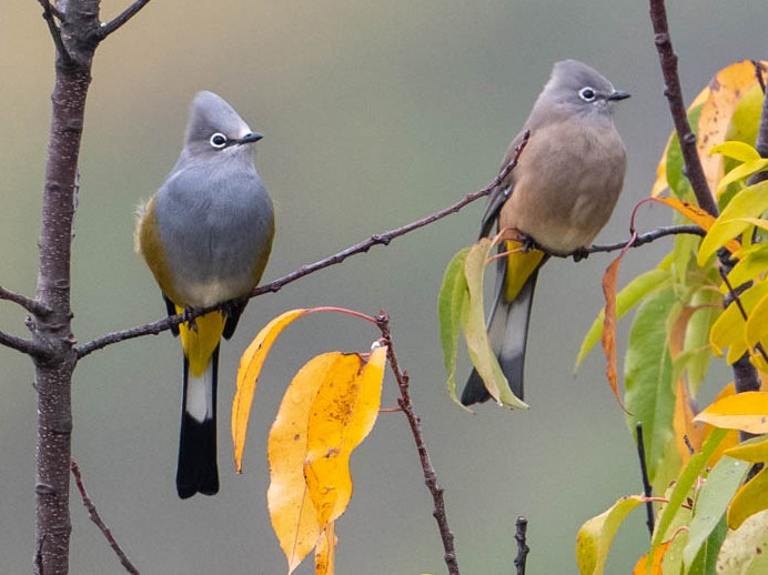 Gray Silky-flycatcher - John Missing