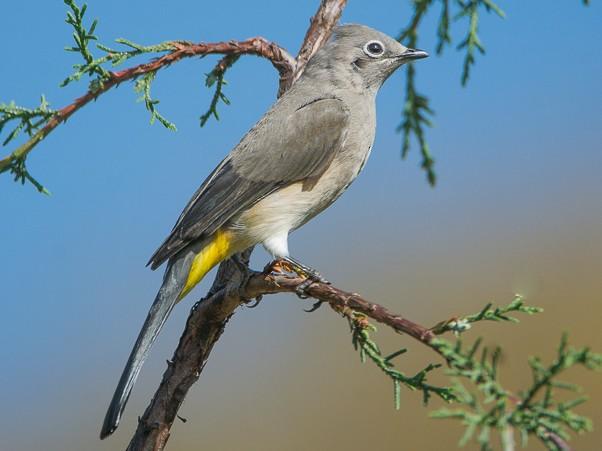 Gray Silky-flycatcher - Juan Miguel Artigas Azas