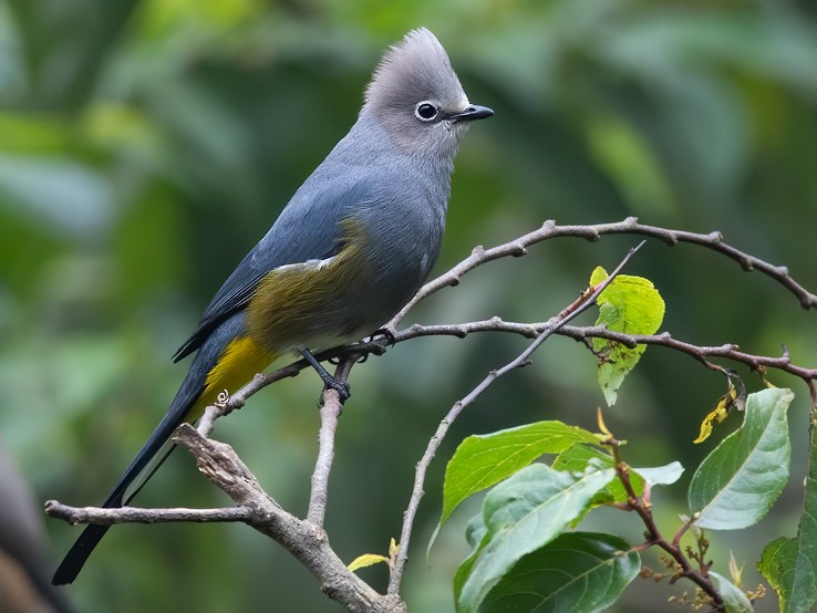 Gray Silky-flycatcher - Dubi Shapiro