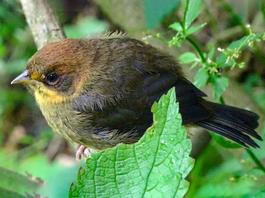 Fulvous-headed Brushfinch - Nollie Marissen