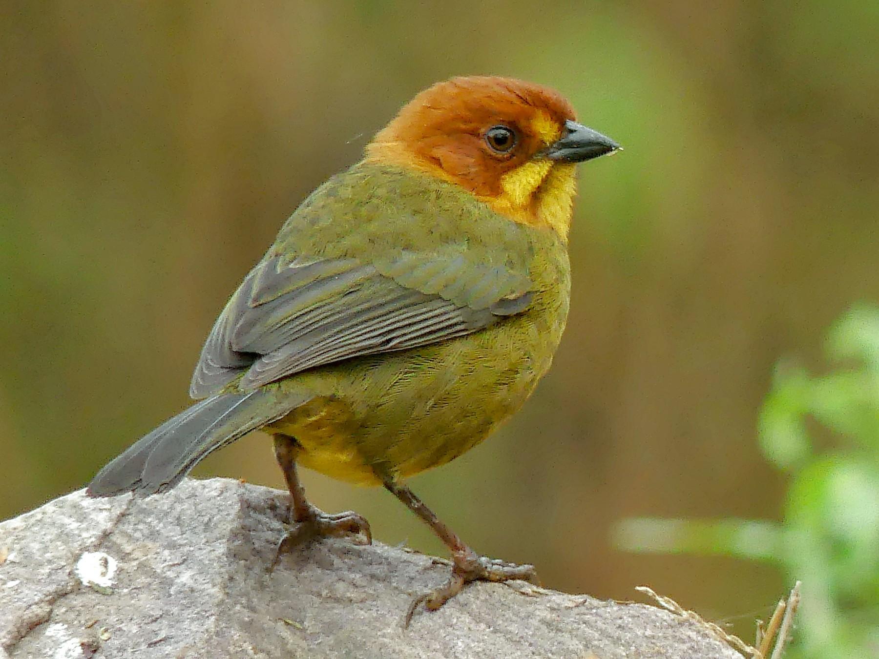 Fulvous-headed Brushfinch - Jorge  Quiroga