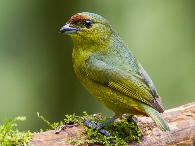 Olive-backed Euphonia - Mattias Hofstede