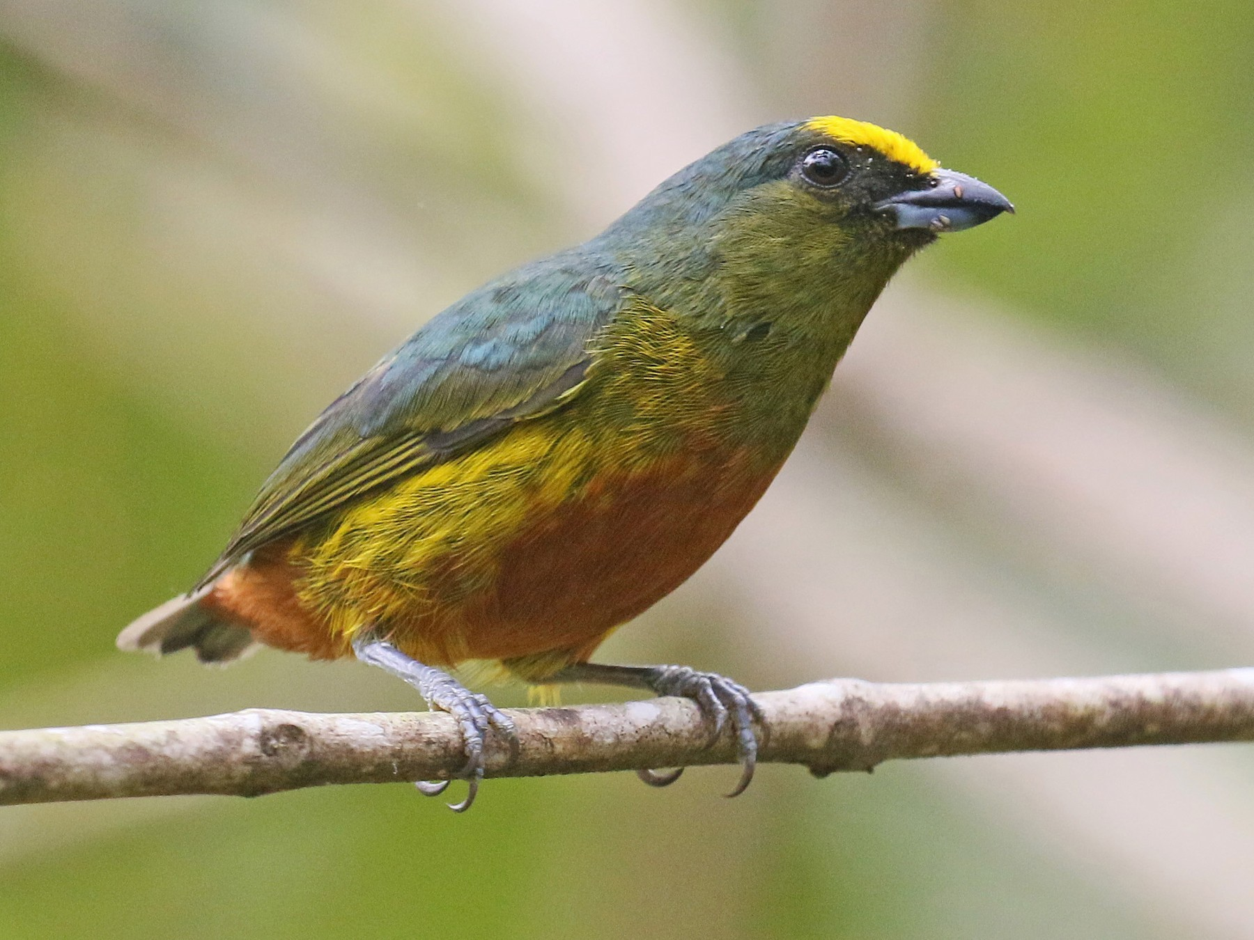 Olive-backed Euphonia - David Lang
