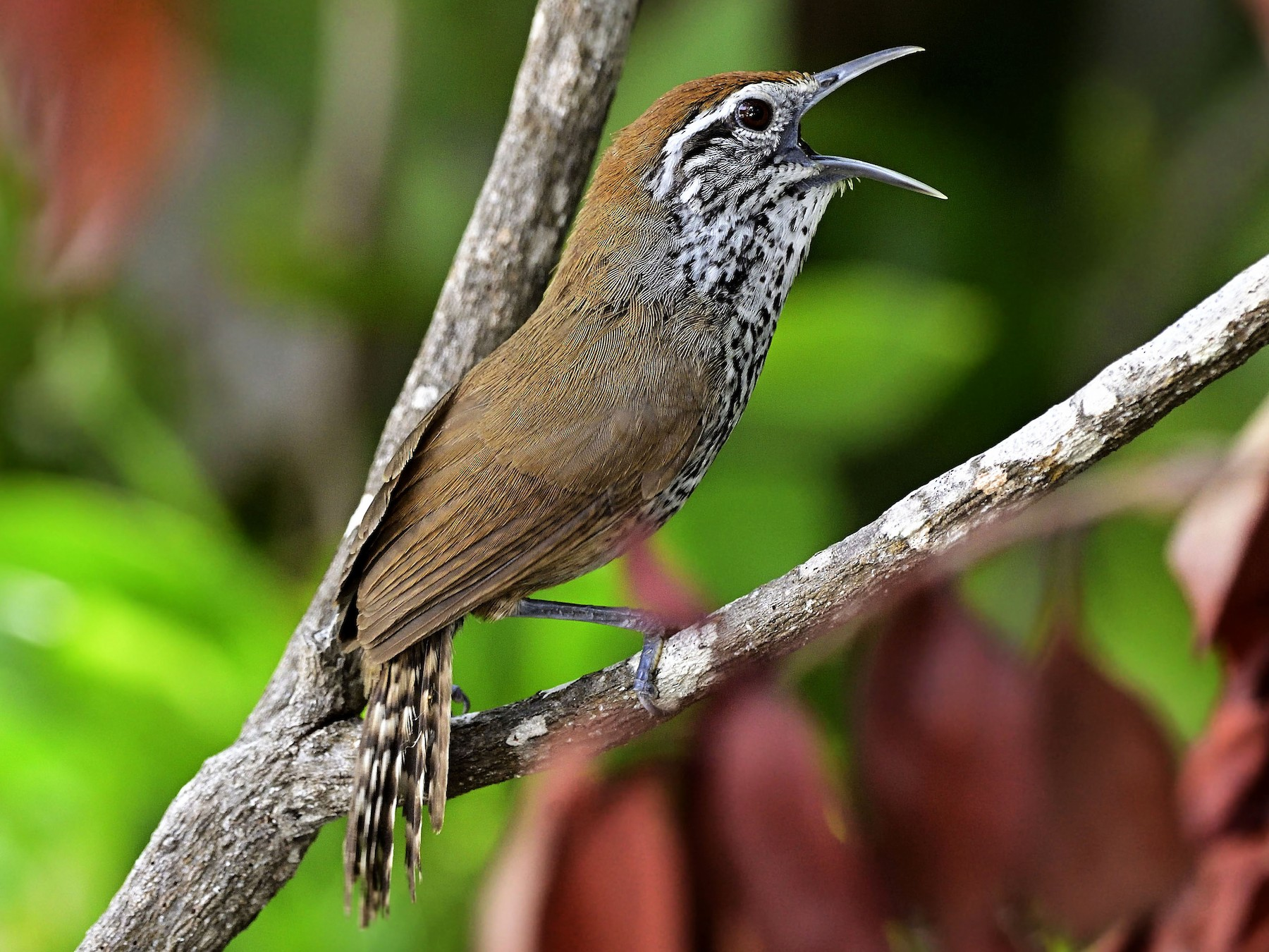 Spot-breasted Wren - Luis Guillermo
