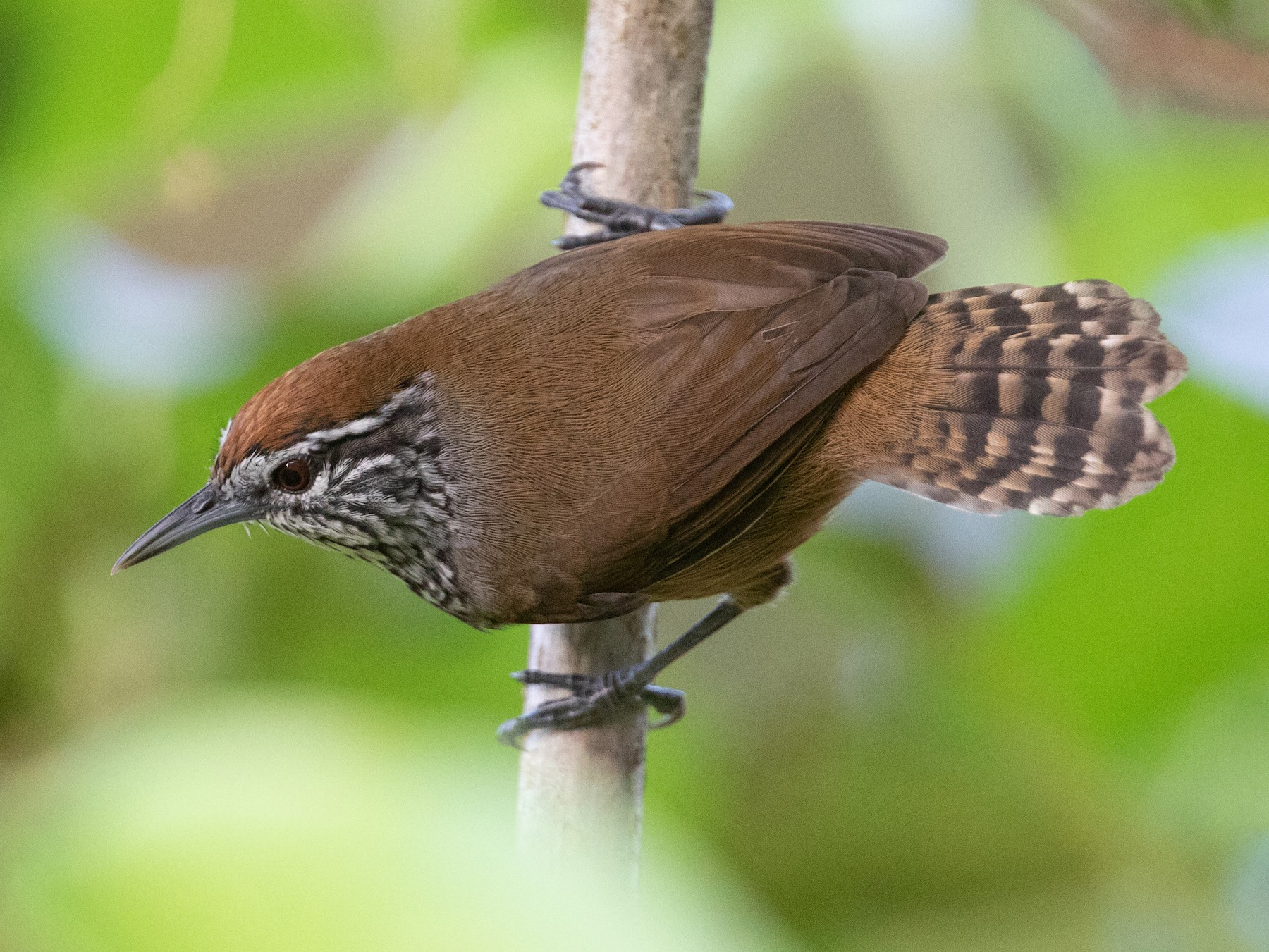 Spot-breasted Wren - Cory Gregory