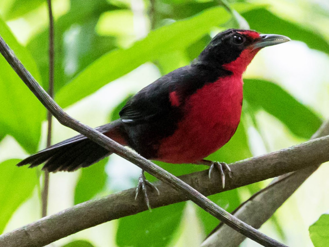 Rosy Thrush-Tanager - Curt Jacoby