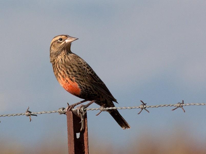 Pampas Meadowlark - Diego Oscar / Sandpiper Birding & Tours