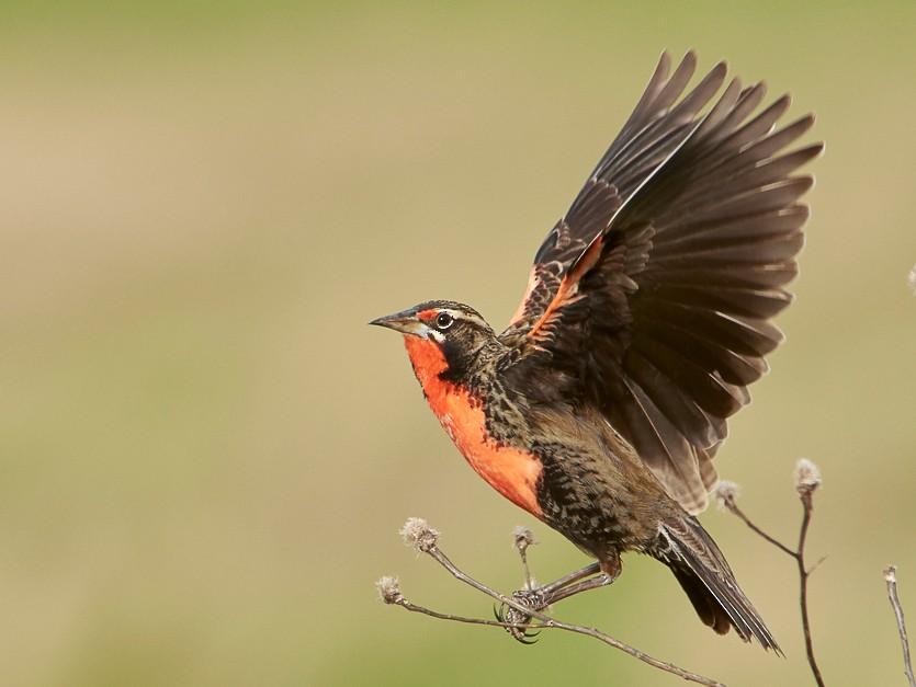 Pampas Meadowlark - Agustín Esmoris (Birding Puerto Madryn   Tours)
