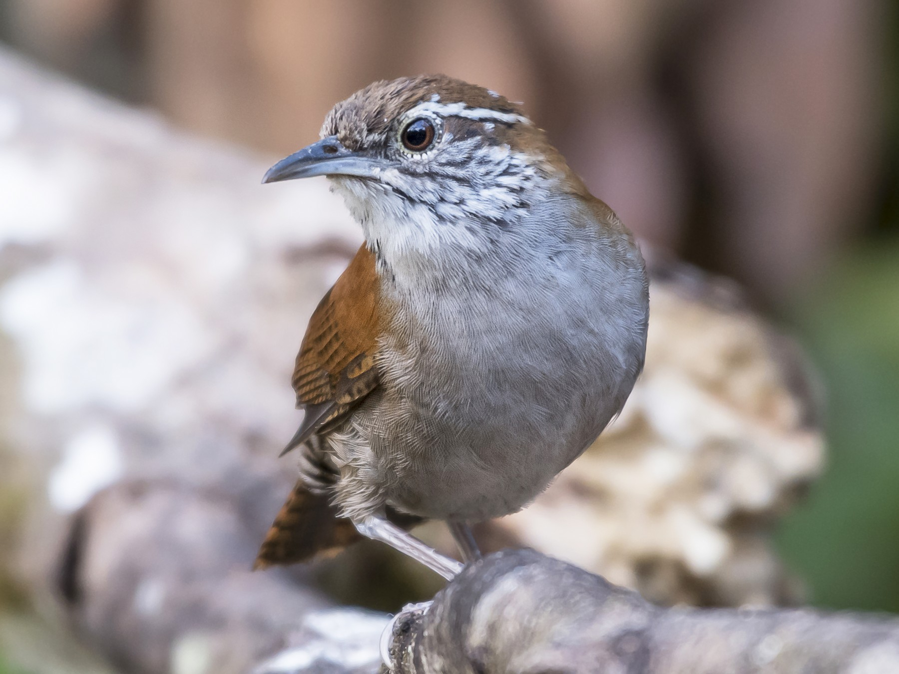 Rufous-and-white Wren - fernando Burgalin Sequeria