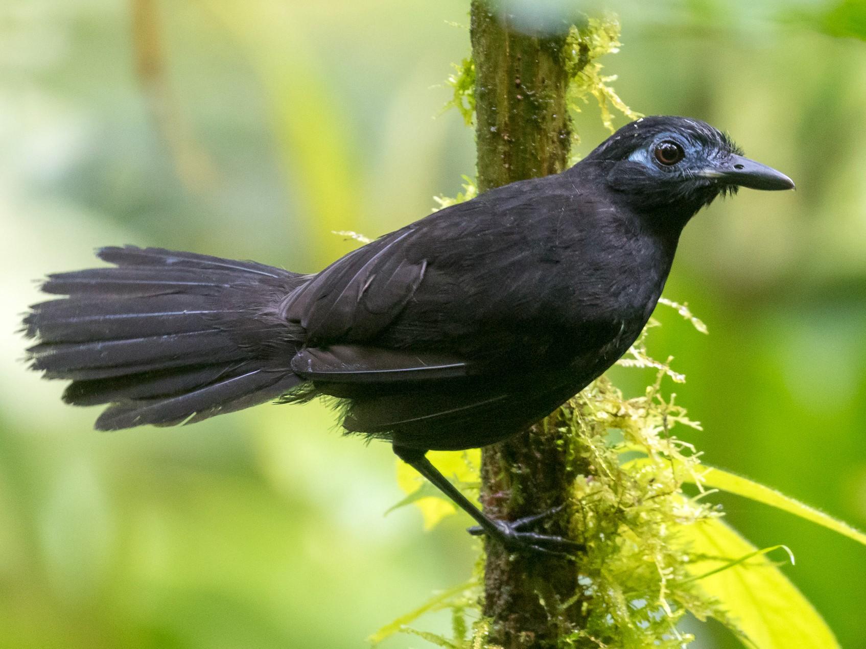 Zeledon's Antbird - Rob Felix