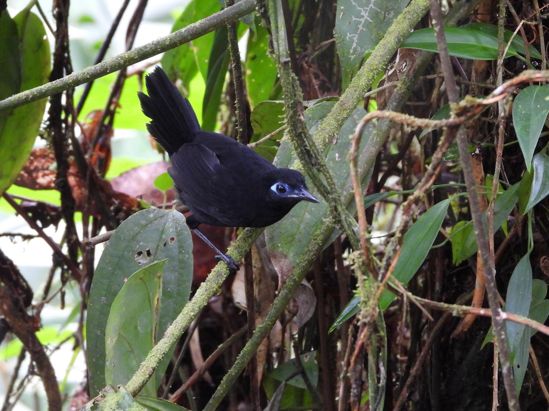 Zeledon's Antbird - Albeiro Erazo Farfán